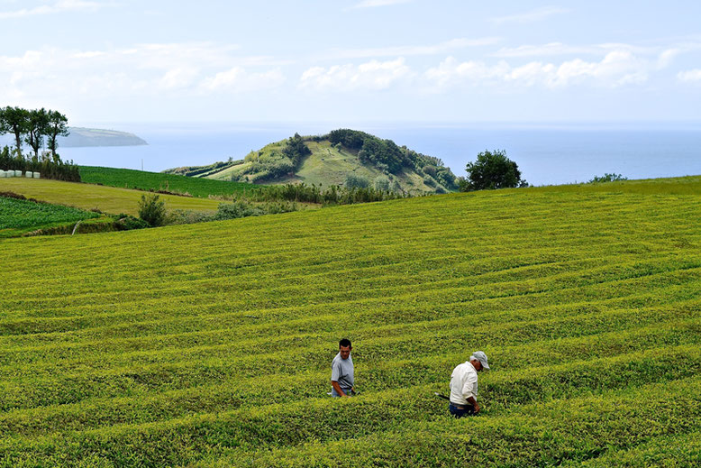 Visit the Azores - Tea Plantations