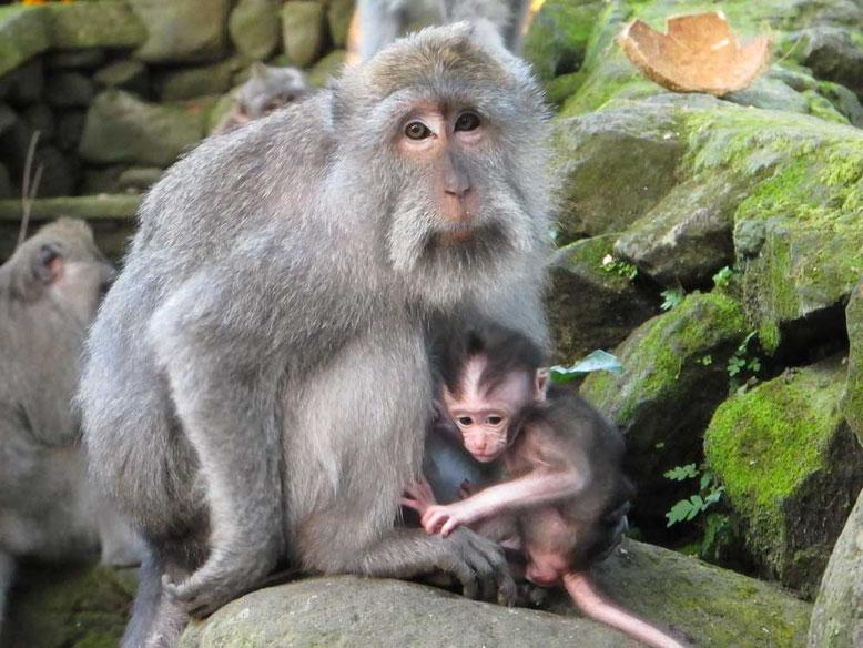 Scimmie alla Monkey Forest di Ubud Bali