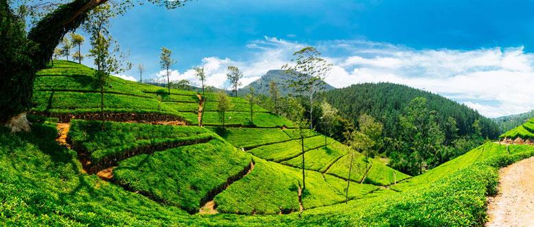 Viaggio di gruppo in Sri Lanka. Coltivazioni di the