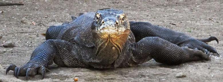 Komodo: l'isola dei draghi. Drago di di Komodo