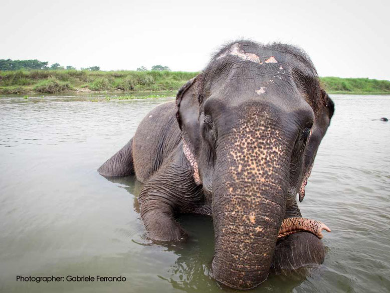 Elefante nel Parco Nazionale di Chitwan - Nepal