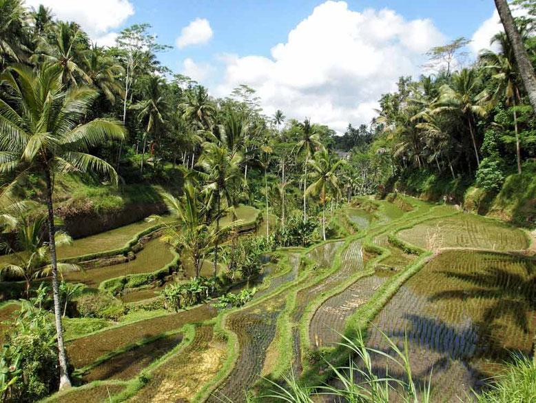 Dove dormire a Ubud. Terrazze di riso