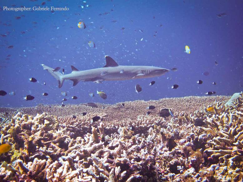 Sipadan e Mabul. White Tip Shark