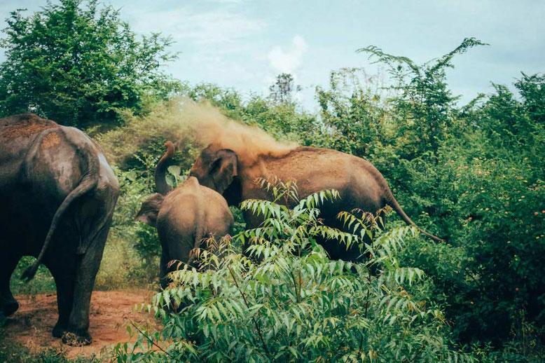 Viaggio di gruppo in Sri Lanka. Elefanti selvatici nel Parco Nazionale di Udawalawa