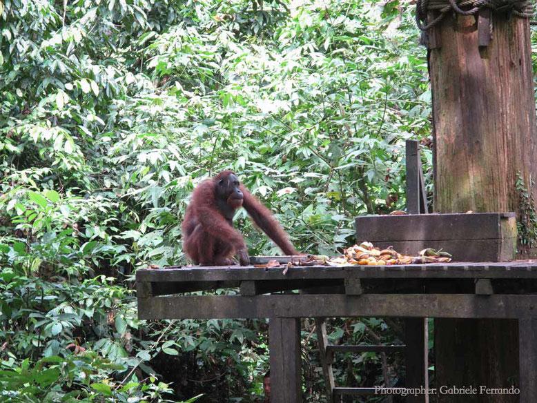 Sandakan. Orangutan al Sepilok Orangutan Rehabilitation Centre