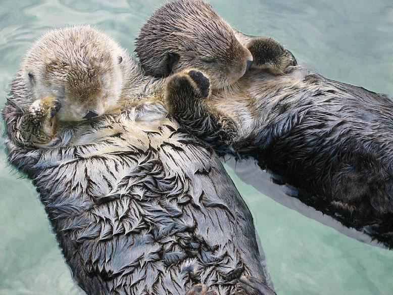 Le lontre marine che si tengono per mano