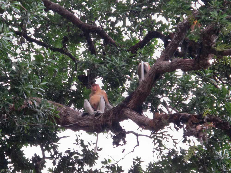 Kinabatangan River. Scimmia nasica