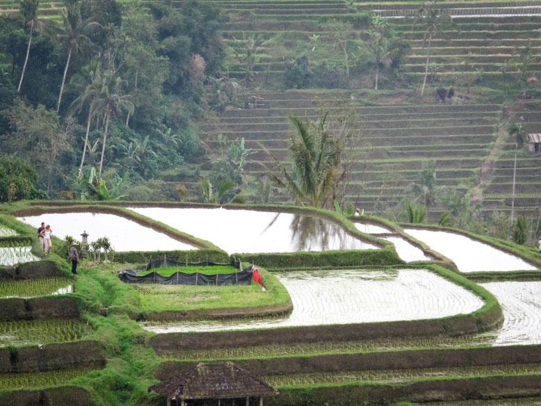 Jatiluwih Rice Terrace, terrazze di riso di Jatiluwih, Bali (Photo by Gabriele Ferrando)