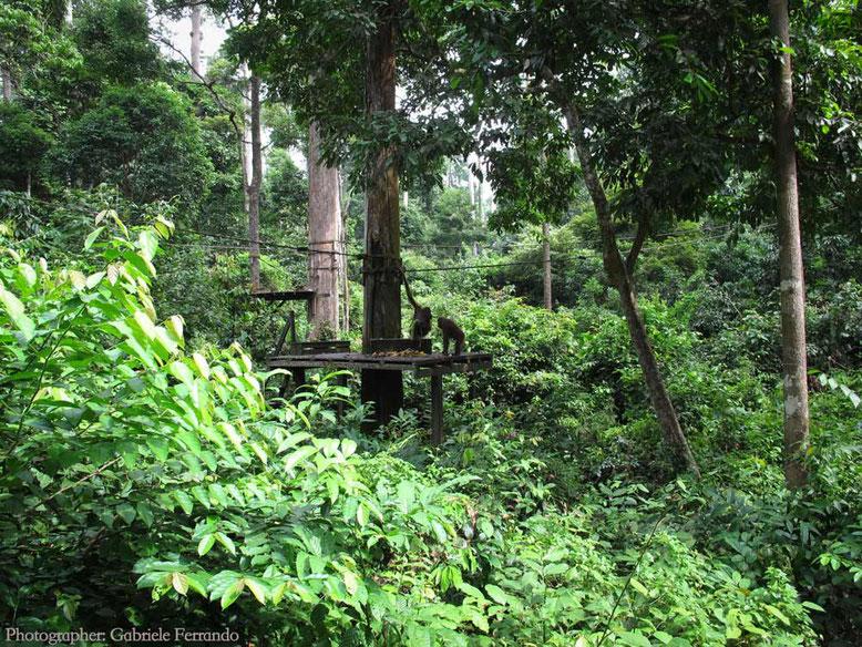 Sandakan. Sepilok Orangutan Rehabilitation Centre