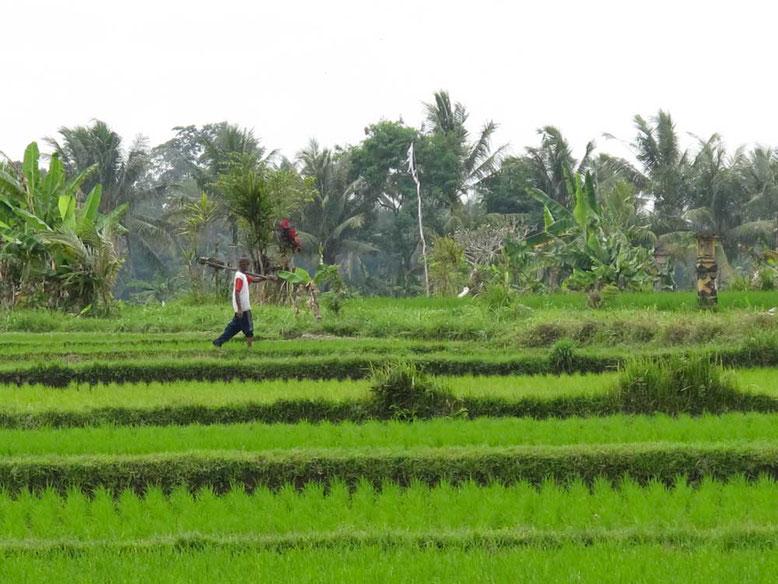 Terrazze di riso a Ubud Bali