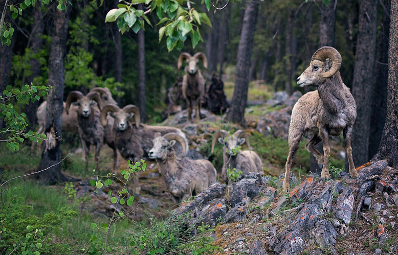 Bighorn Sheeps, Lake Minnewanka
