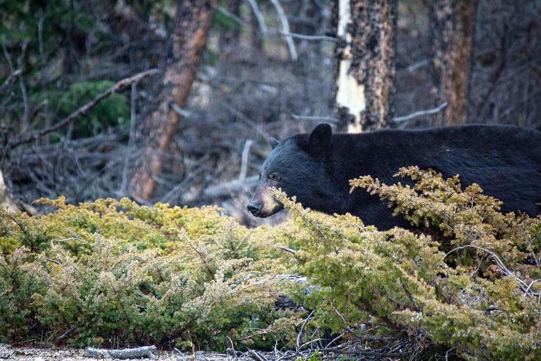 black bear jasper