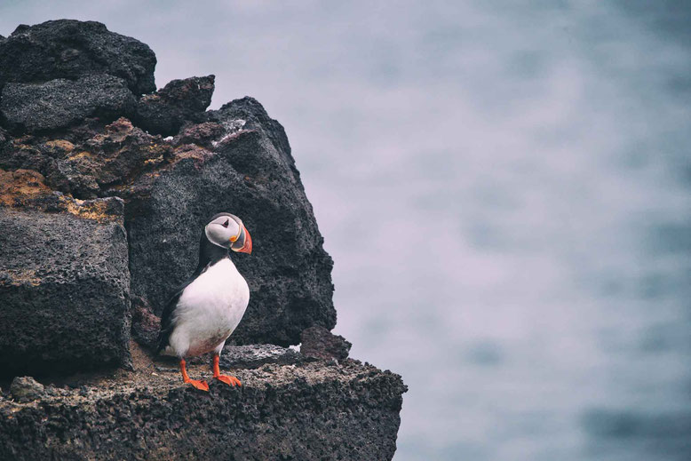 Travel to Iceland in Spring March April May June Puffin birds