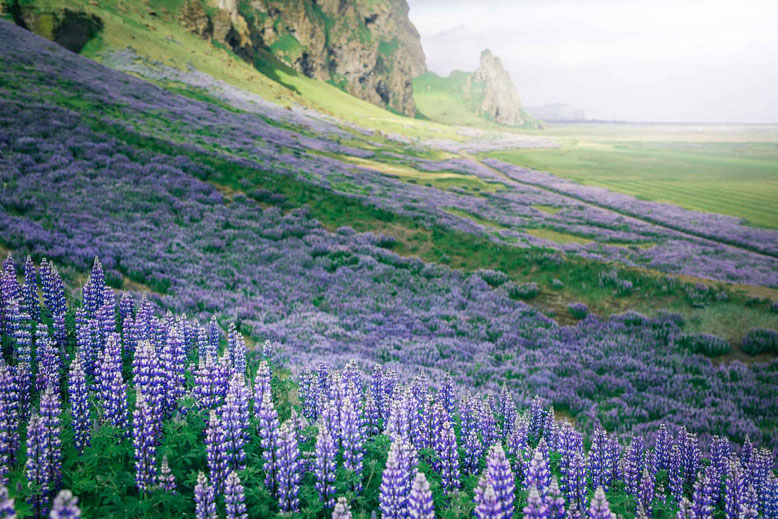 Lupin flowers visit Iceland in spring June May