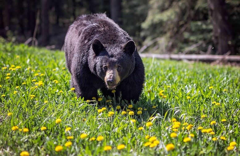 Black bear, Golden