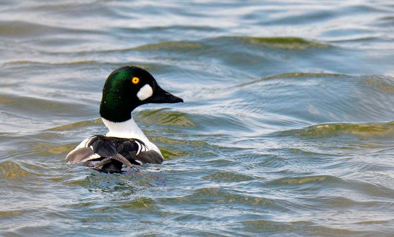Schellenten-Männchen auf einem Teich in der Nähe