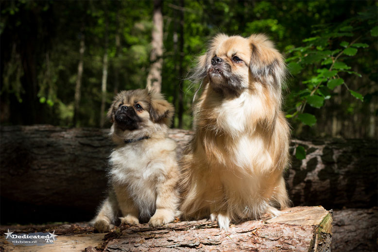 Dedicated To Tibetan Spaniel