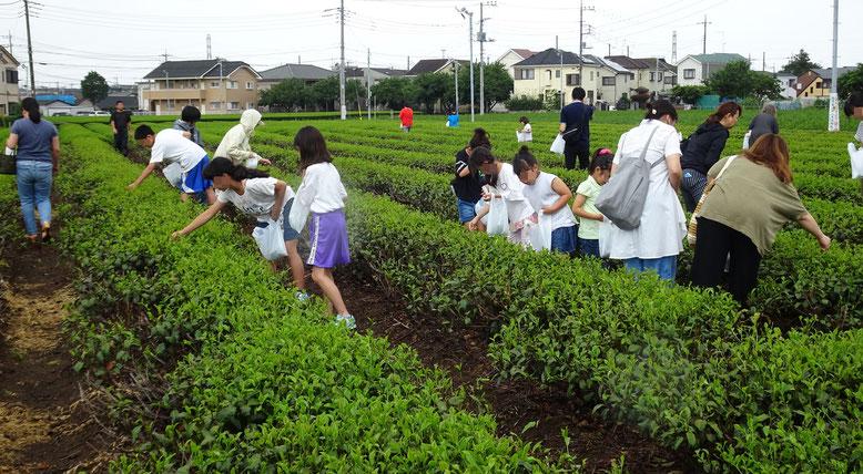 広々としたお茶畑で茶葉を摘む、お茶摘み体験参加者