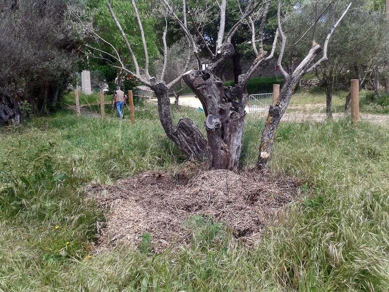 broyat d'olivier au pied des arbres, un bon compost
