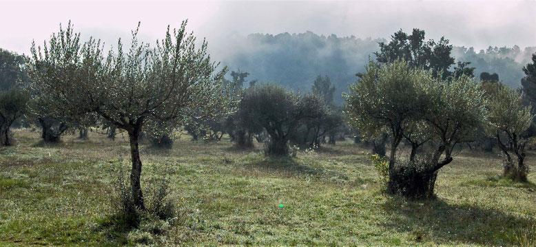 """Oliviers à Sillans.  """"En tant que plante, l'olivier produit ses propres toxines, ses goûts, ses odeurs, ses phéromones, auxquels des bactéries, des champignons et des invertébrés se sont adaptés"""""""