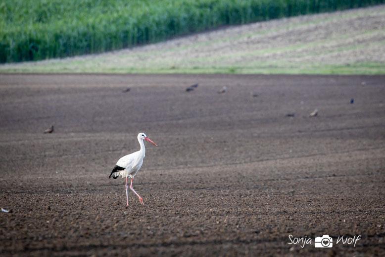 Weißstorch auf dem Acker