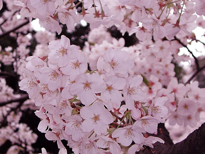 Zipangu Arts Tokyo Image ゚* 凛として可憐な日本の国花 *゚