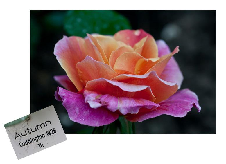 Autumn Rose Teehybride Europa Rosarium Sangerhausen