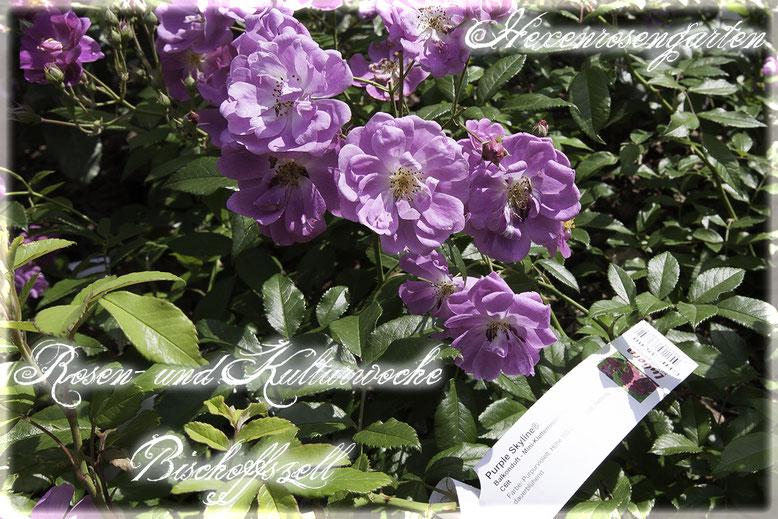 Rosenblog Hexenrosengarten  Rosiger Adventskalender Rosen- und Kulturwoche Bischoffszell Purple Skyline