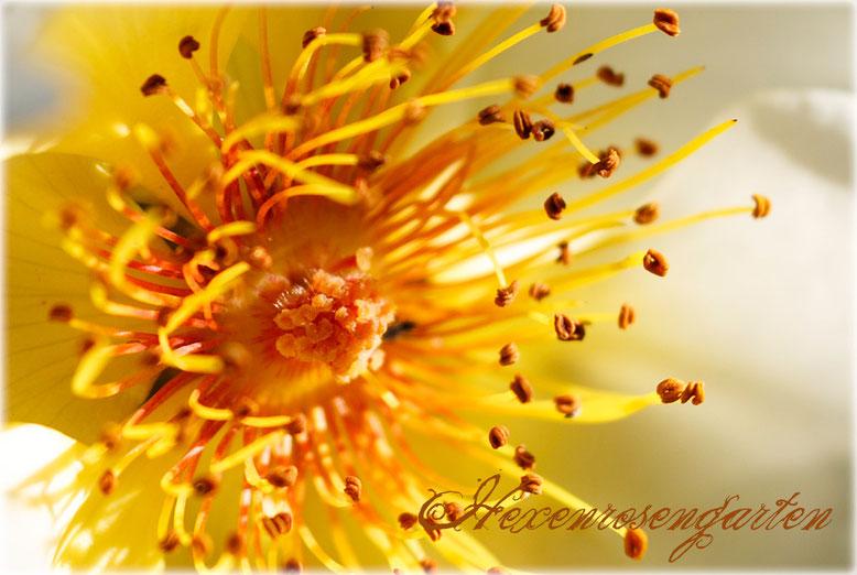 Rosen Hexenrosengarten Staubgefäße Golden Wings