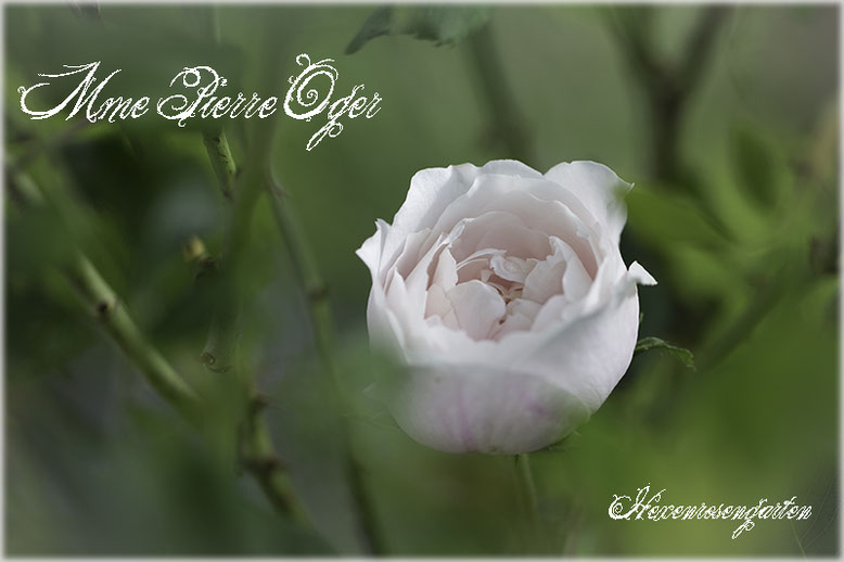 Rosen Hexenrosengarten Rosenblog  Strauchrose Bourbonrose Mme Pierre Oger