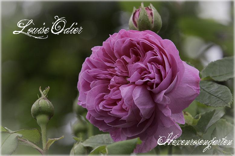 Rosen Hexenrosengarten Rosenblog  Bourbon Rose rosa Louise Odier