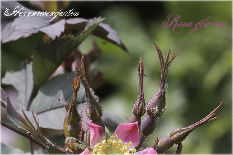 Rosen Rosenblog Hexenrosengarten Hexenrosengarten Rosiger Adventskalender Rosa Glauca Hechtrose