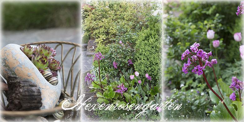 Rosen Blüte Hexenrosengarten Garten Rosenblog Frühling rosa Bergenie Tulpen