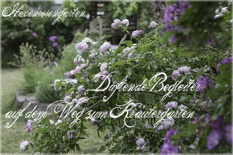 Rosen Hexenrosengarten Rosenblog Duftrosen Bourbonrose Province Panacee Ramblerrose Veilchenblau
