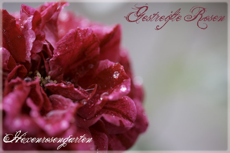Rosen Rosenblog Hexenrosengarten Rosiger Adventskalender Gestreifte Rosen Edelrose Deep Impression