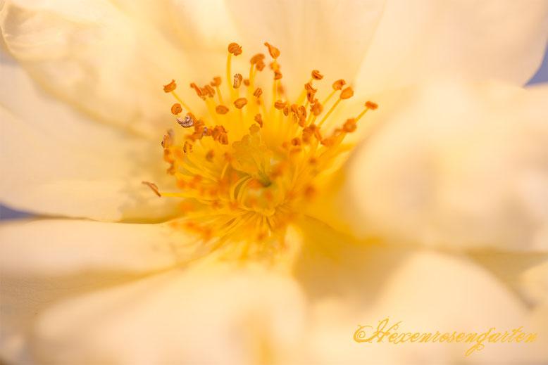 Rosiger Adventskalender im Hexenrosengarten - Faszinierende Insekten in den Rosenblüten
