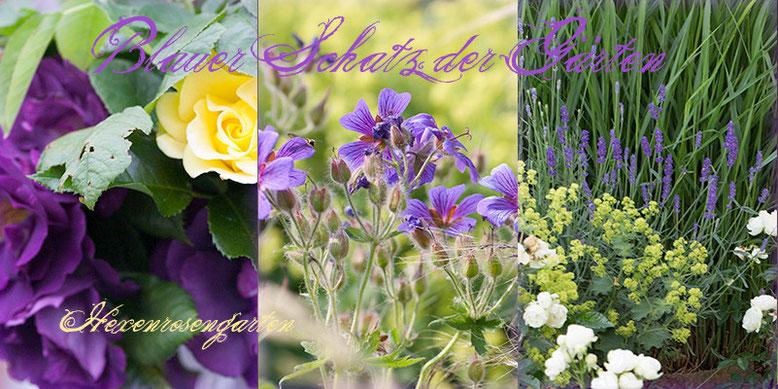 Rosen Rosenblog Hexenrosengarten blau Rapsody in Blue Gelber Engel Storchschnabel, Frauenmantel Lavendel White Morsdag