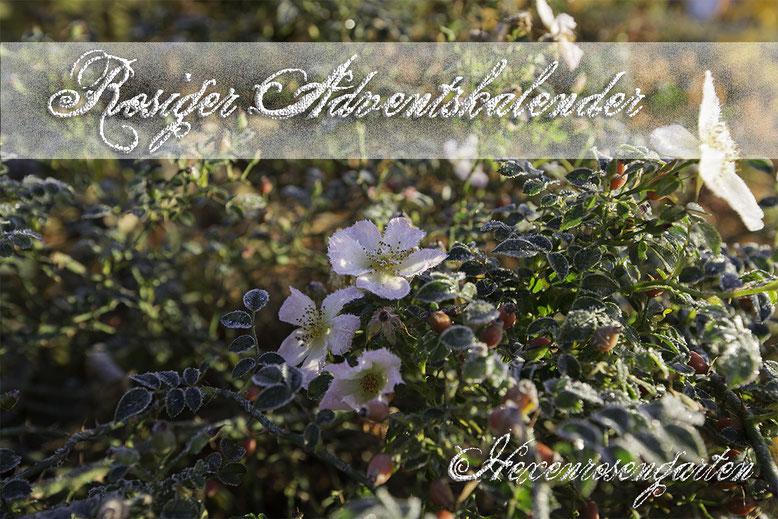 Hexenrosengarten Rosenblog Novemberblues Morbide Rosen Romantischer Rosengarten Sonnenröschen Kordes Frost Hagebutte