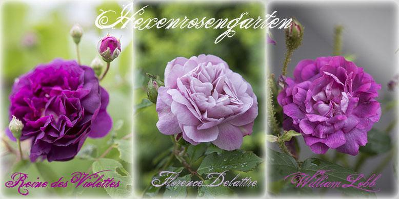 Auf das Bild klicken um zu den Rosenportraits zu gelangen