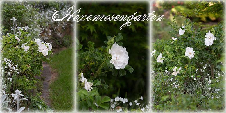 Rosen Blüte Hexenrosengarten Garten Rosenblog Frühling White Roadrunner Rugosa weiß