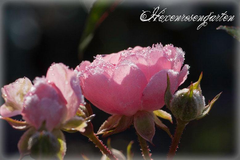 Rosen Rosenblog Hexenrosengarten The Fairy Blüte Frost Bodendeckerrose