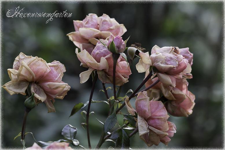 Hexenrosengarten Rosenblog Novemberblues Morbide Rosen Romantischer Rosengarten  Leonardo da Vinci