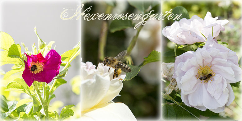 Rosen Hexenrosengarten Rugosa Frühlingsduft Schneekoppe Biene Hummel