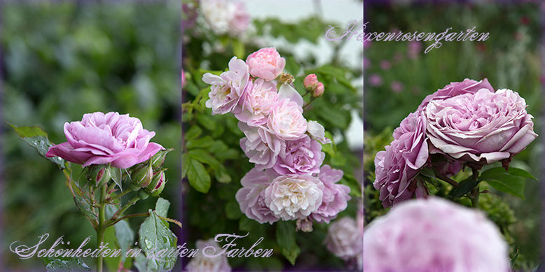 Rosen Rosenblog Hexenrosengarten blau Mauve Florence Delattre Souvenir de Greuville Lavender Ice