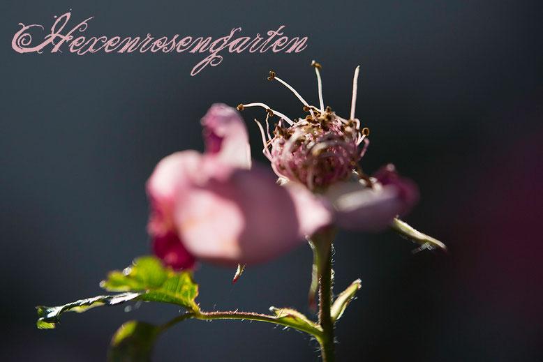 Rosen Hexenrosengarten Summerwine Staubgefäße