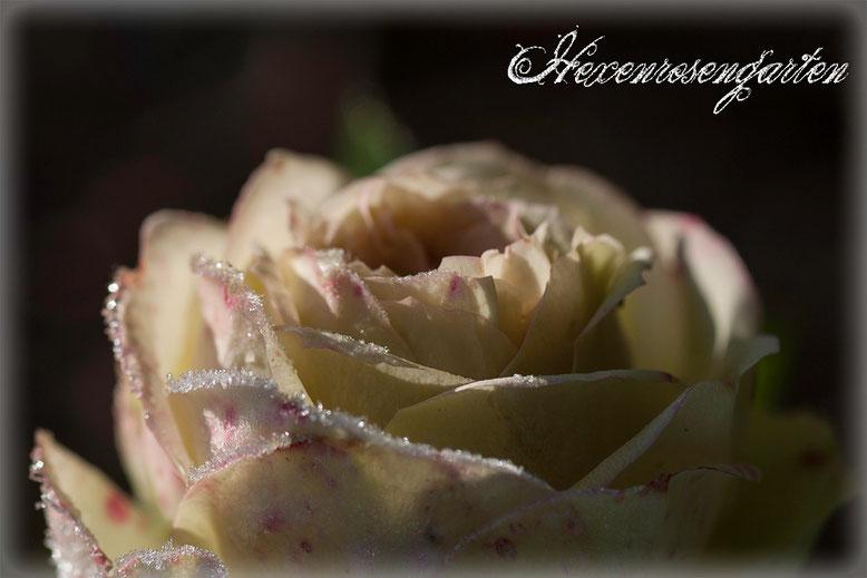 Rosen Rosenblog Hexenrosengarten Beetrose Lovely Green Frost Blüte