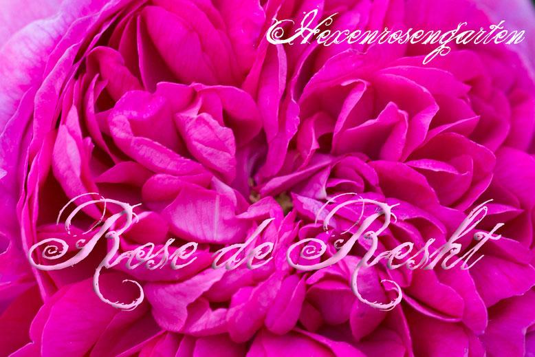 Rosen Hexenrosengarten Kräuter Rose de Resht Duft Damaszenerrosen