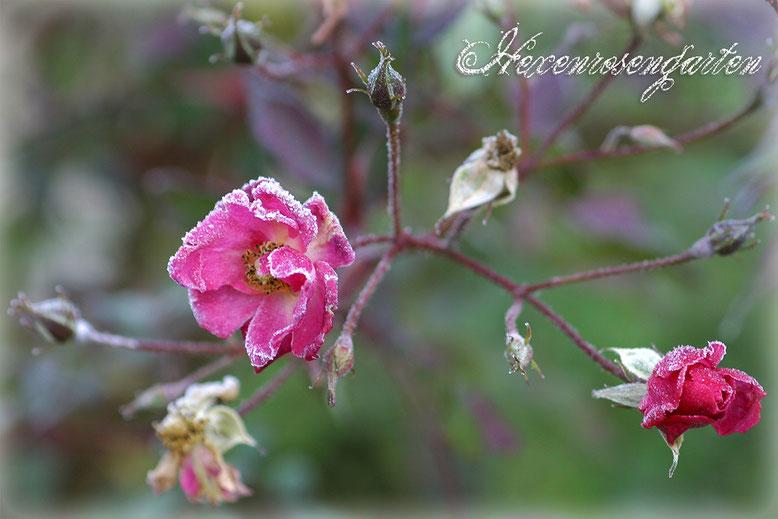 Rosen Rosenblog Hexenrosengarten Lavender Dream Bodendeckerrose lila Blüten Frost