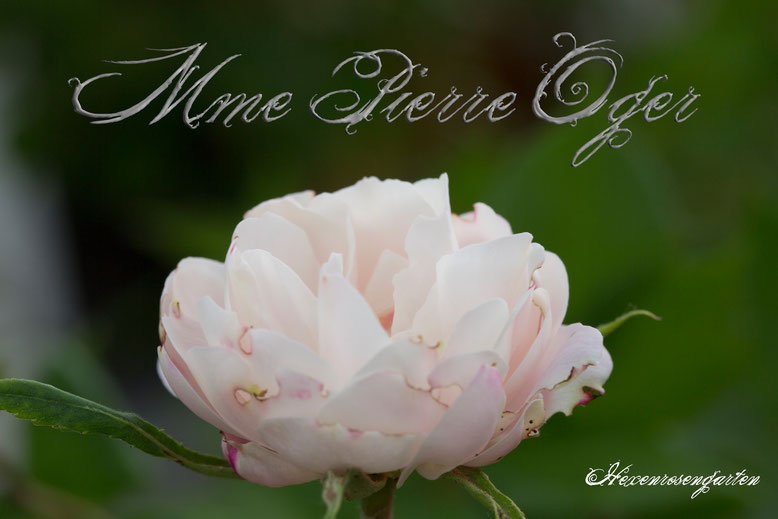 Rosen Blüte Hexenrosengarten Garten Rosenblog Frühling Mme Pierre Oger