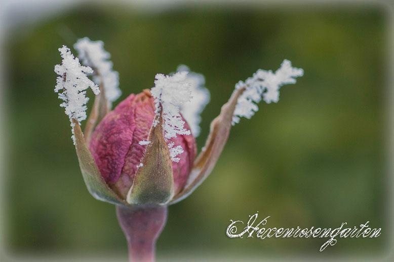 Rosen Rosenblog Hexenrosengarten Kletterrose New Dawn Frost